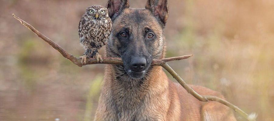 Hund trägt einen Stock auf dem eine Eule sitzt.