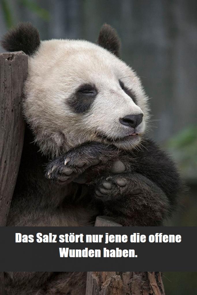 """Entzückender Panda der an einem Baum lehnt und entspannt schläft. Darunter die Bildunterschrift die da lautet: """"Das Salz stört nur jene die offene Wunden haben."""""""
